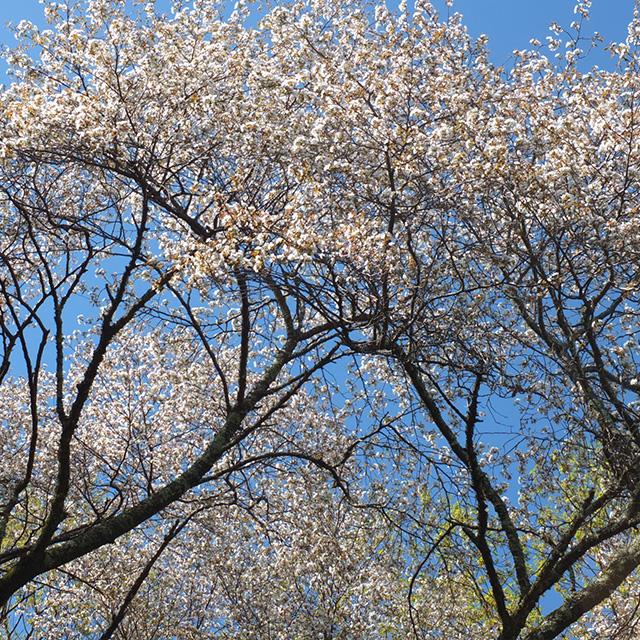山桜の花の写真