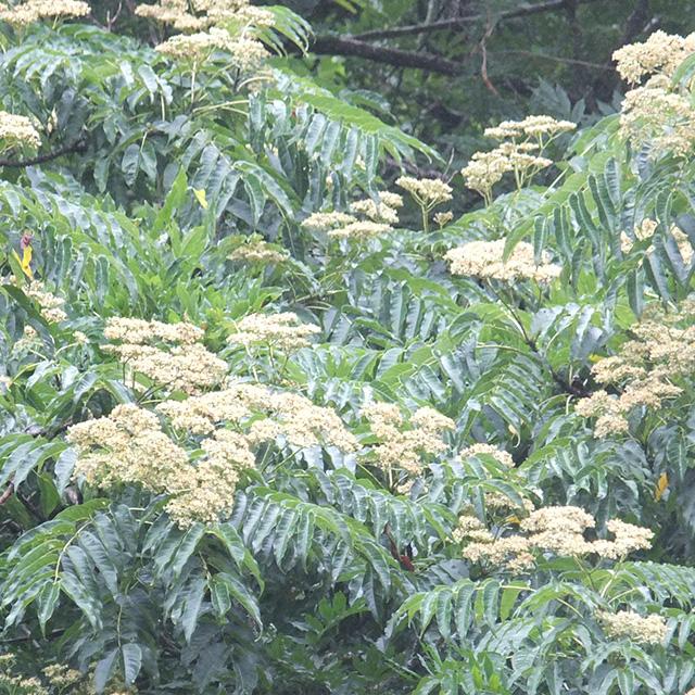 烏山椒の花の写真