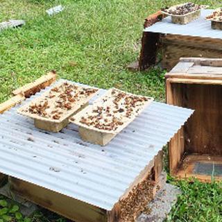1枚のシートに20~30匹のオオスズメバチ、100枚以上使用