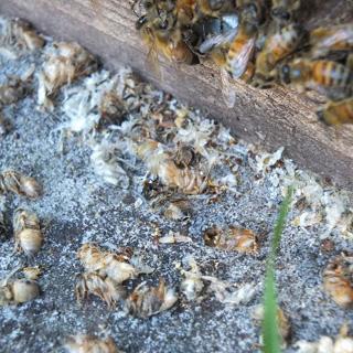 ミツバチヘギイタダニの兆候