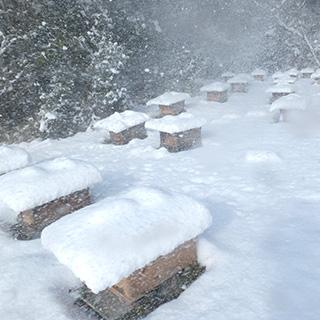 ミツバチの越冬