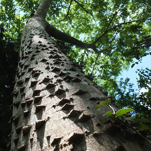 烏山椒の木
